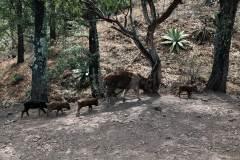 8-puercos-salvajes