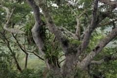 4-encino-con-bromelias