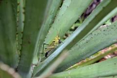 6-grillo-y-agave